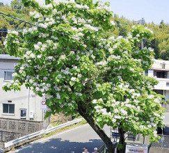 白い花を咲かせたカタルパの木
